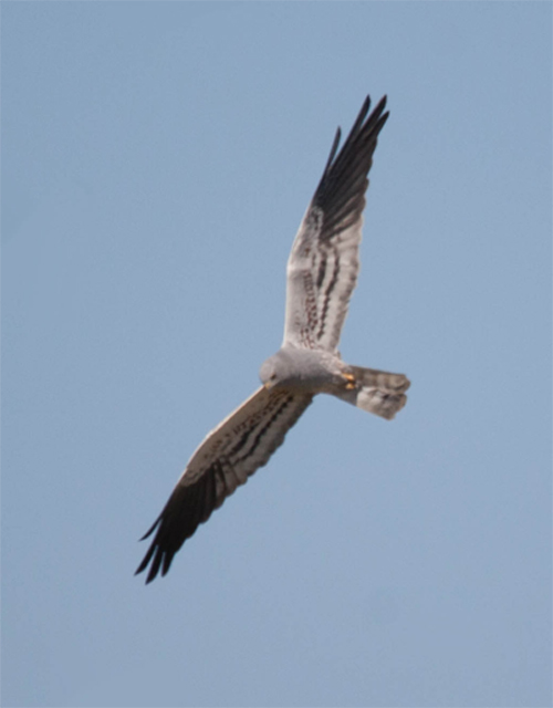 Montagu's Harrier (Circus pygargus) male. A locally common species in Lleida Steppes. Photo: Carles Oliver