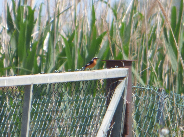 Moussier's Redstart at Ebro Delta, 2nd record for Catalonia. Image: Victor Sanz